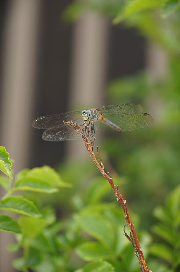 Dragonfly Photograph - Dragonfly Smile by Megan Cohen