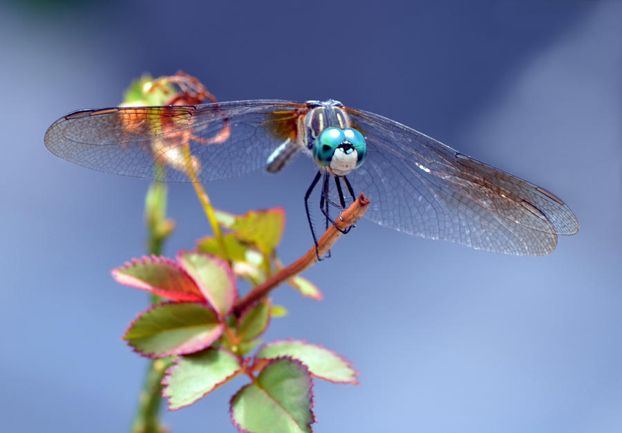 Dragonfly Photograph - Dragonfly Visit by Sandi OReilly