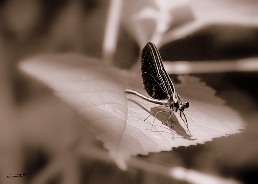 Dragon Fly Photograph - Dragons Dont Fly by Ed Smith