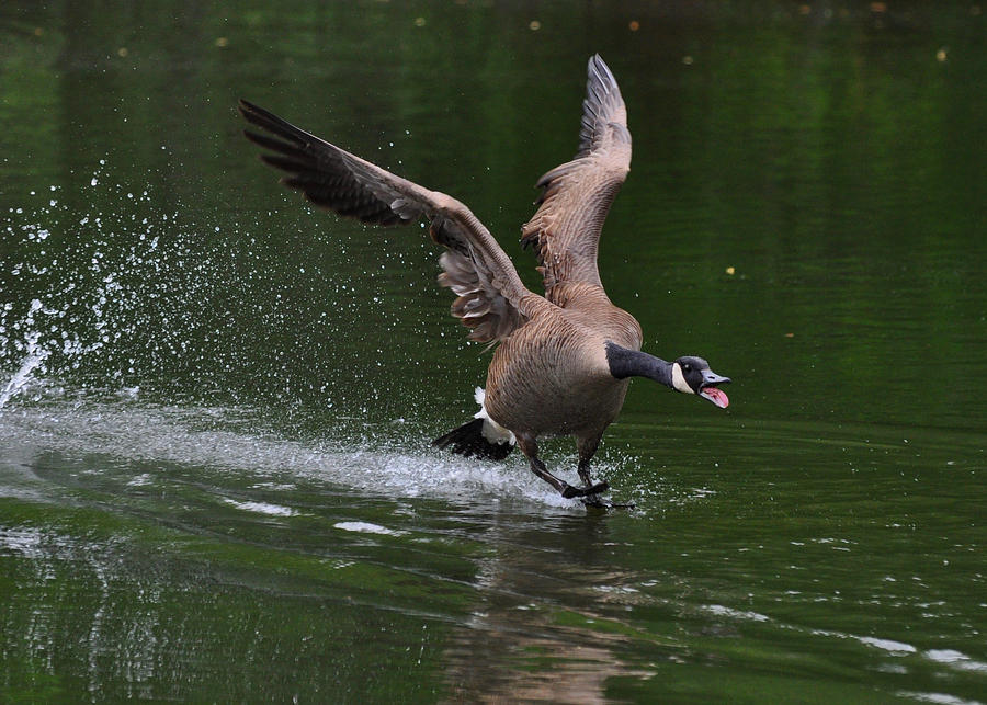 Goose Photograph - Drake In Mating Season - C0663d by Paul Lyndon Phillips