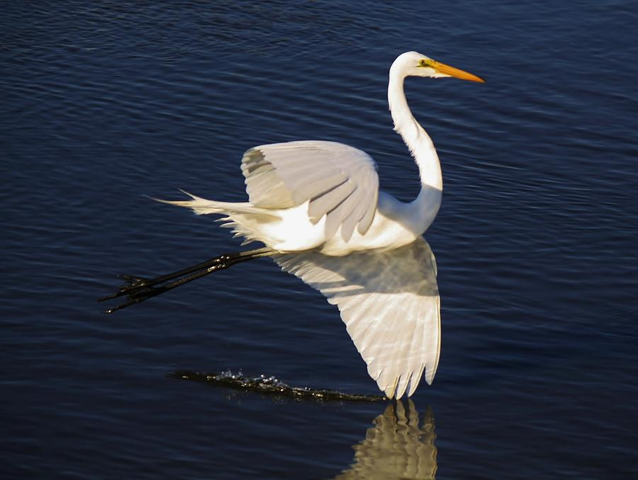 Great White Egret Photograph - Drawing A Line In The Water by Paulette Thomas