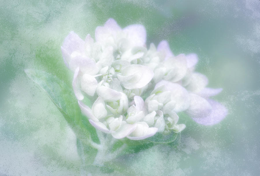 Hydrangea Photograph - Dreaming Floral by Brenda Bryant