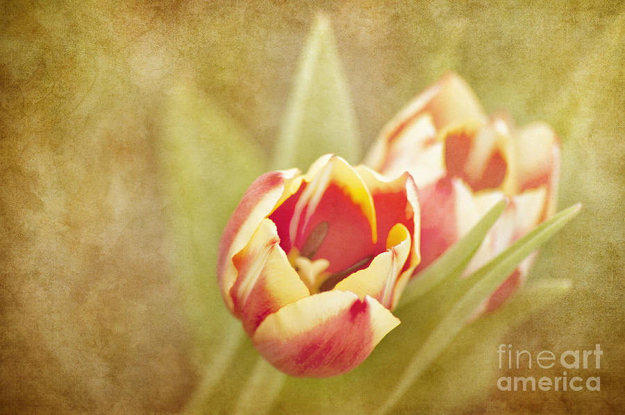 Tulips Photograph - Dreaming Of Spring by Cheryl Davis