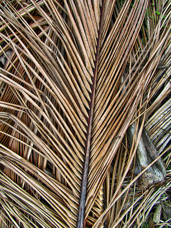 Dried Palm Fronds Photograph By Mark Sellers
