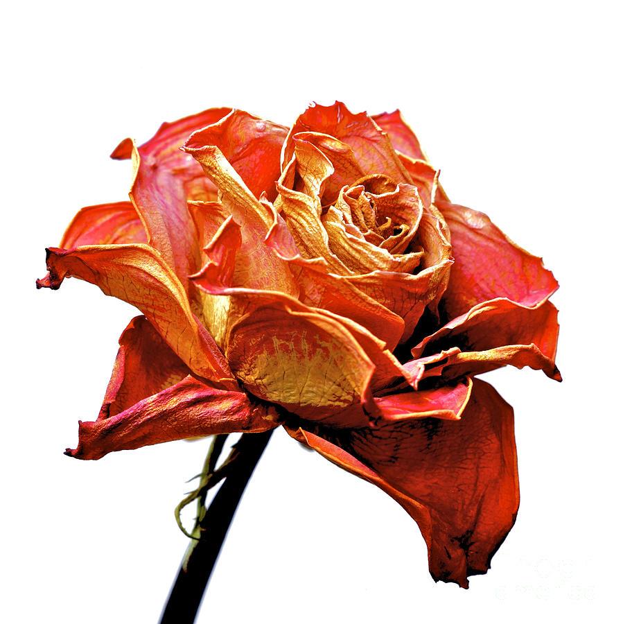 Dried Rose Photograph by Bernard Jaubert