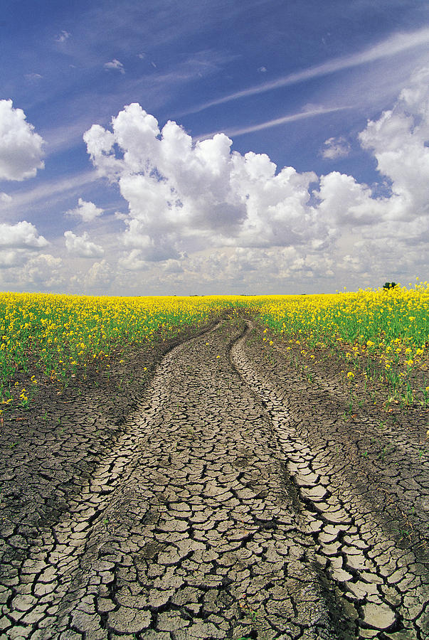 Canola Field Photograph - Dried Up Machinery Tracks by Dave Reede