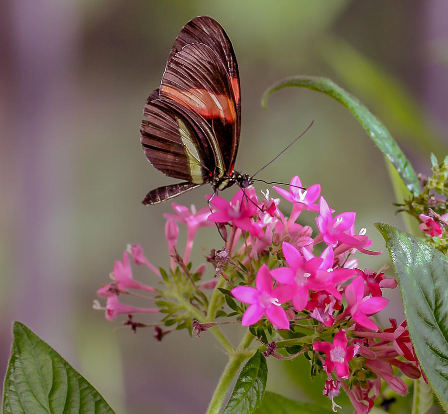 Butterfly Photograph - Drinking It In by Andrea  OConnell