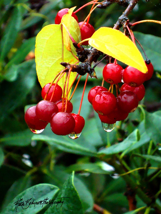 Nature Photograph - Drips And Berries by Ruth Bodycott