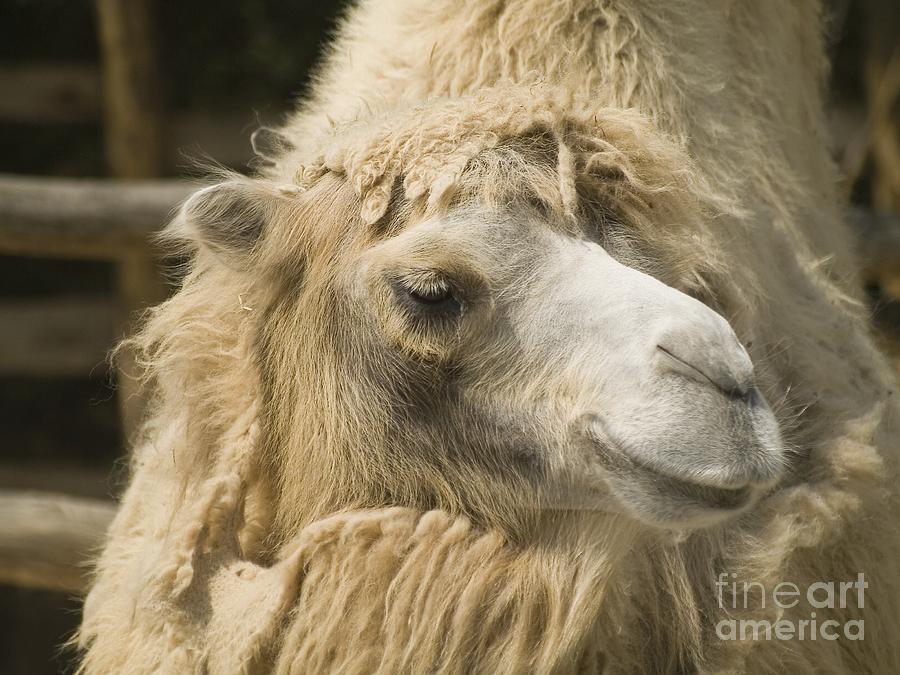Animal Photograph - Dromedar by Odon Czintos