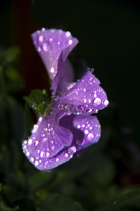 Anniversary Photograph - Drops Of Rain by Svetlana Sewell