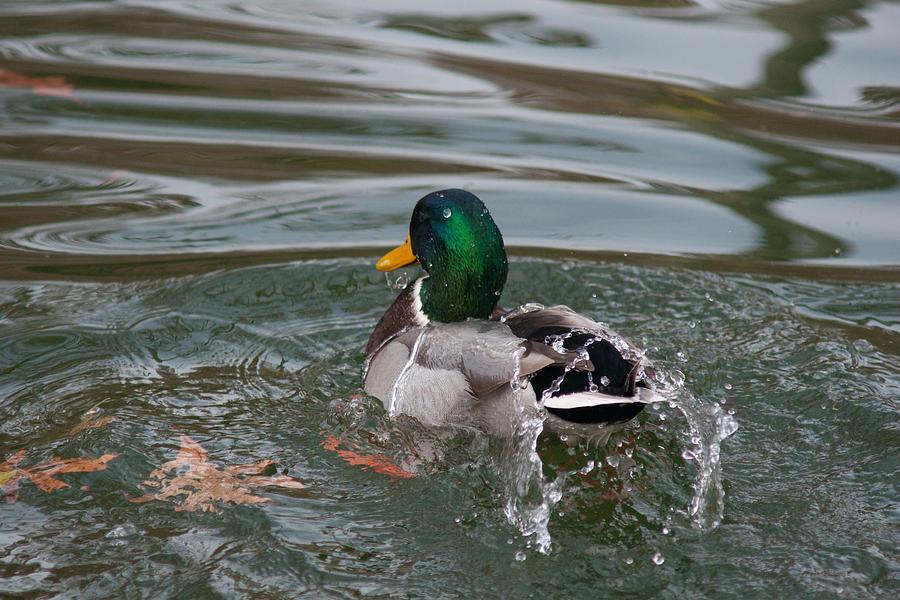 Bath Photograph - Duck Bathing Series 6 by Craig Hosterman