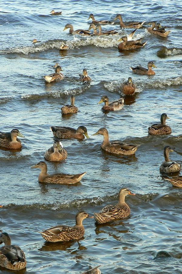 Ducks Photograph - Duck Convention by Seiko Ti