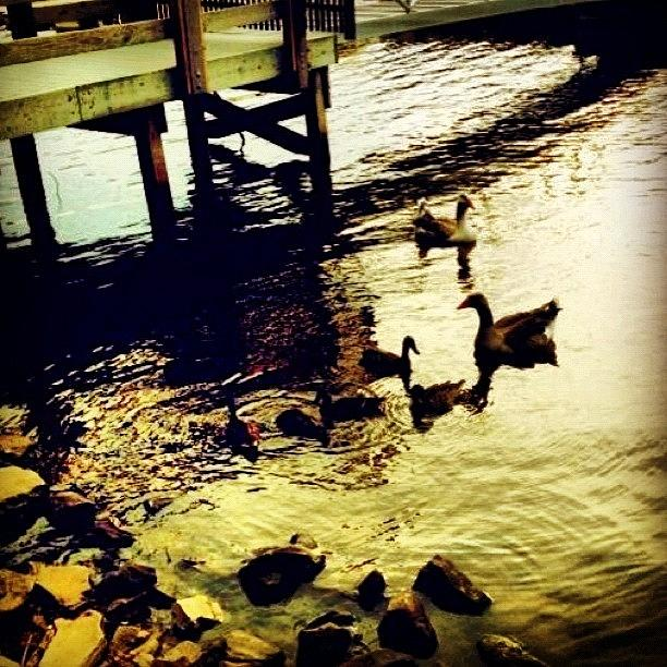 Cute Photograph - #duck #dusk #cute #family #summer by Katie Williams