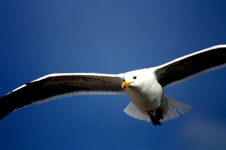Seagull Photograph - Duck by Patrick Anderson