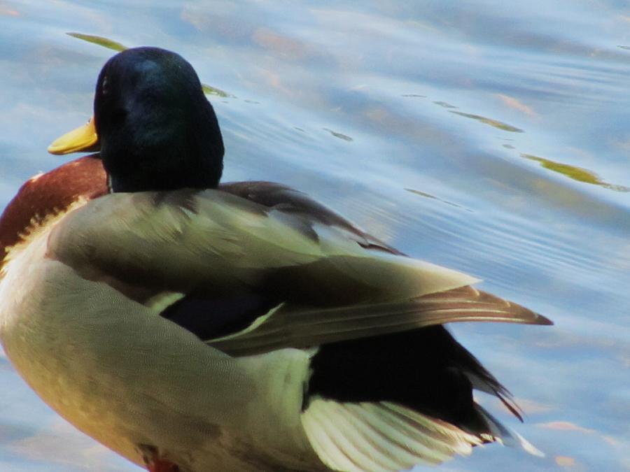 Duck Photograph - Duck by Todd Sherlock