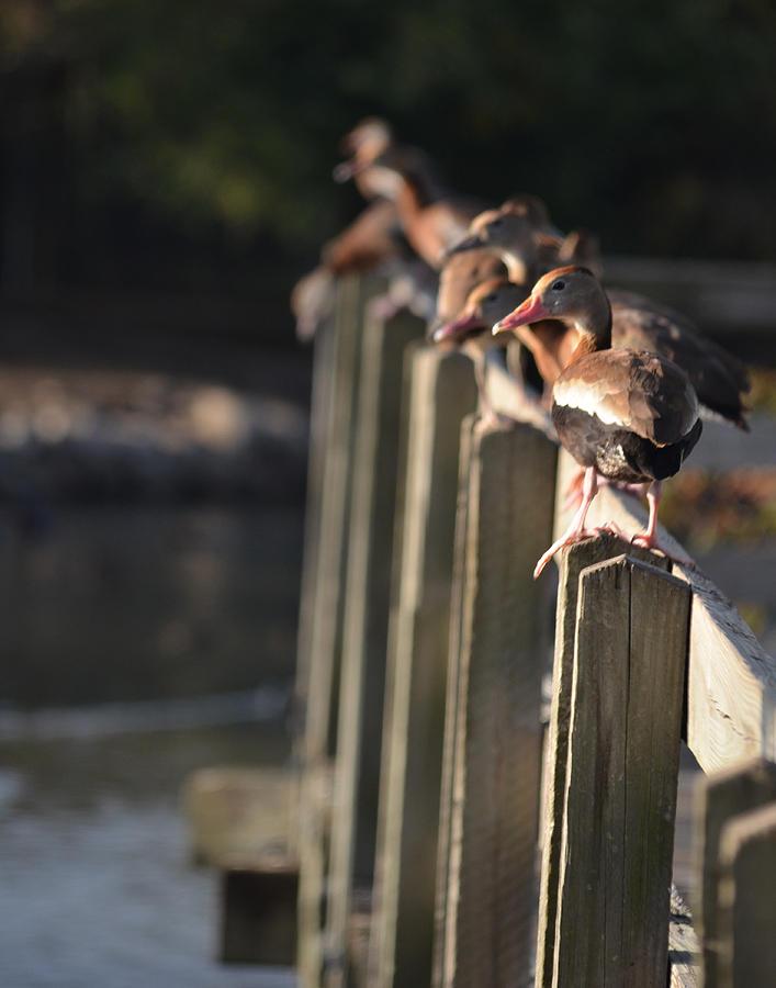 Duck Photograph - Ducks Ducks Ducks by Maggy Marsh