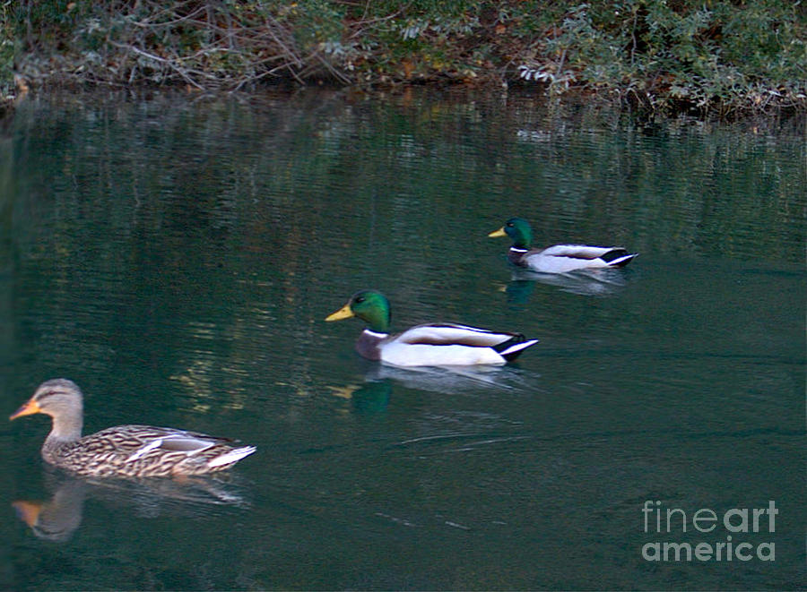 Landscape Photograph - Ducks In A Line  by The Kepharts