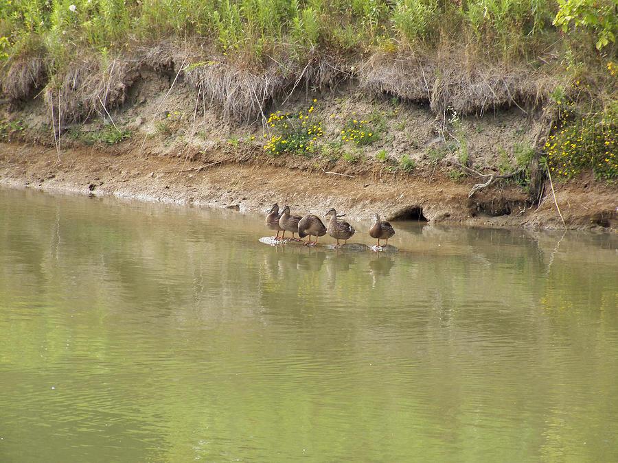 Ducks Photograph - Ducks In A Row by Corinne Elizabeth Cowherd