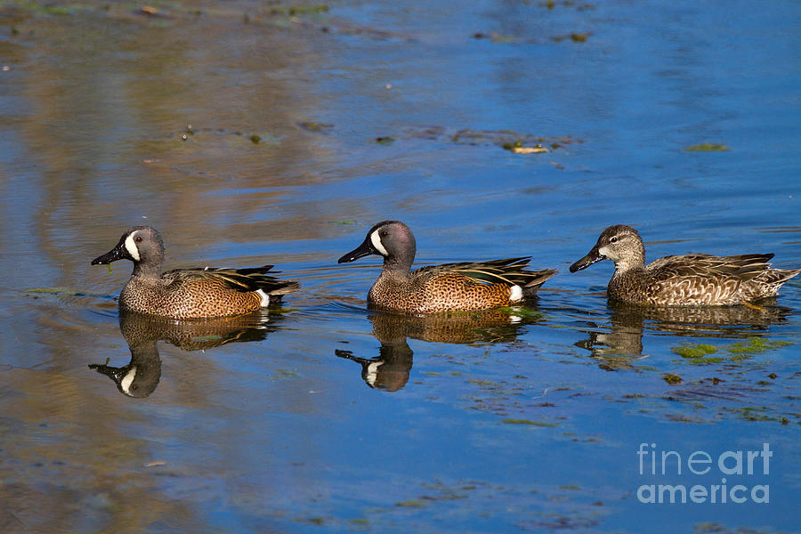 Blue Wing Photograph - Ducks In A Row by Louise Heusinkveld