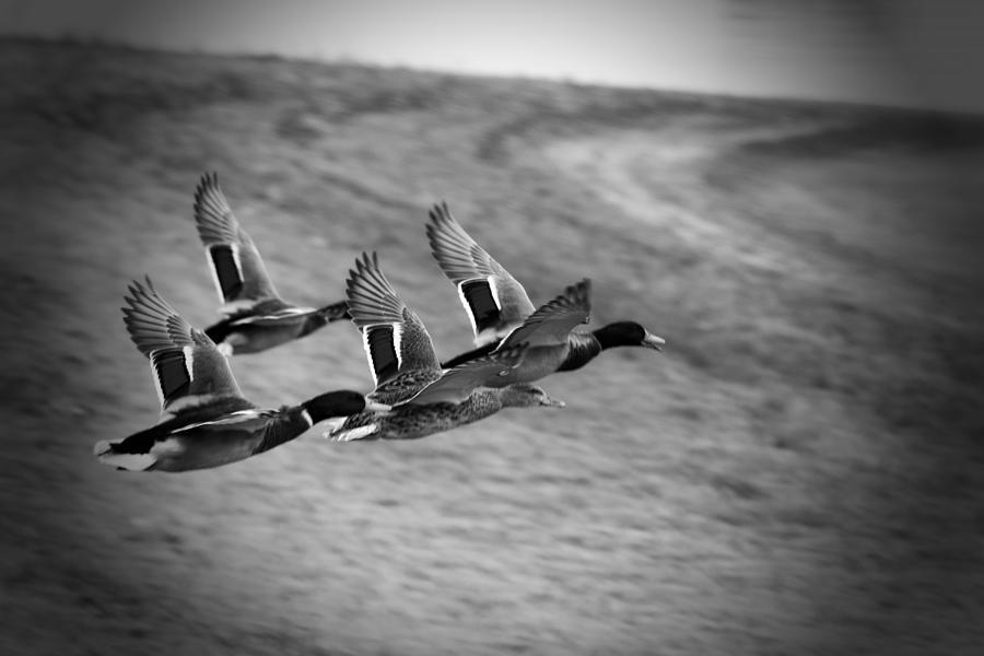 Ducks In Flight Photograph - Ducks In Flight V2 Bw by Douglas Barnard