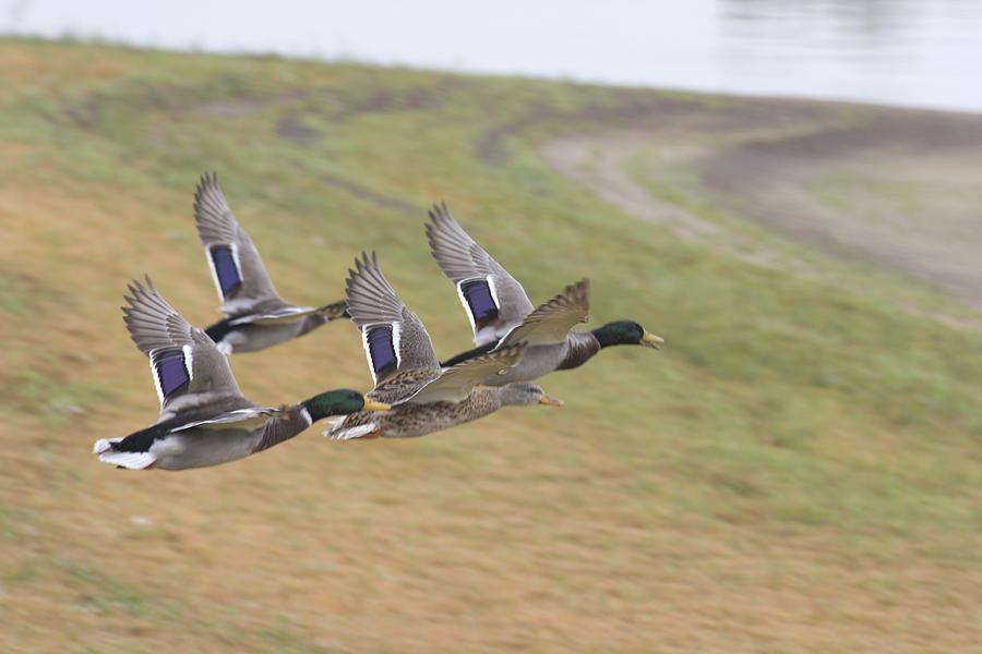 Ducks In Flight Photograph - Ducks In Flight V3 by Douglas Barnard