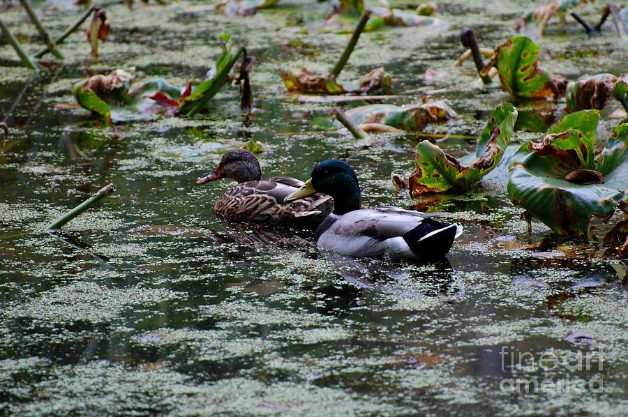 Ducks Photograph - Ducks by Marsha Thornton