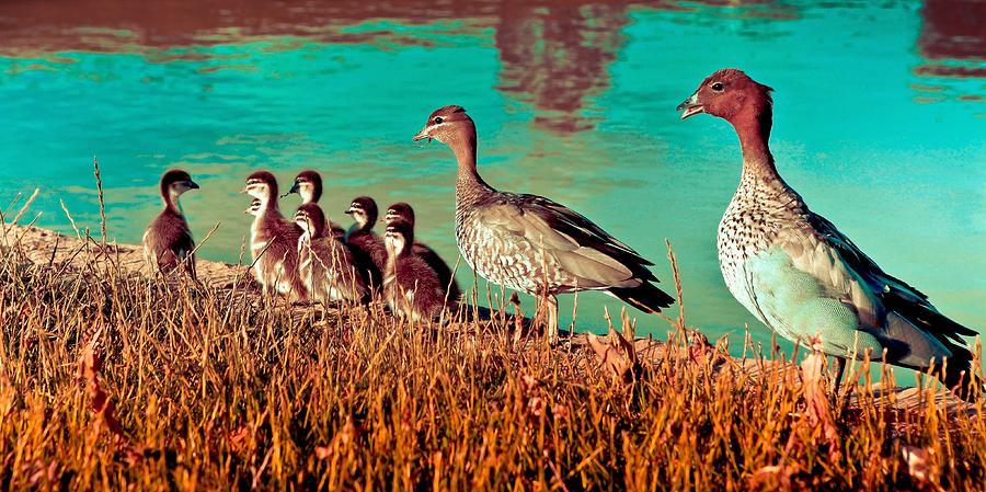 Duck Photograph - Ducky Family by Bernard Yong