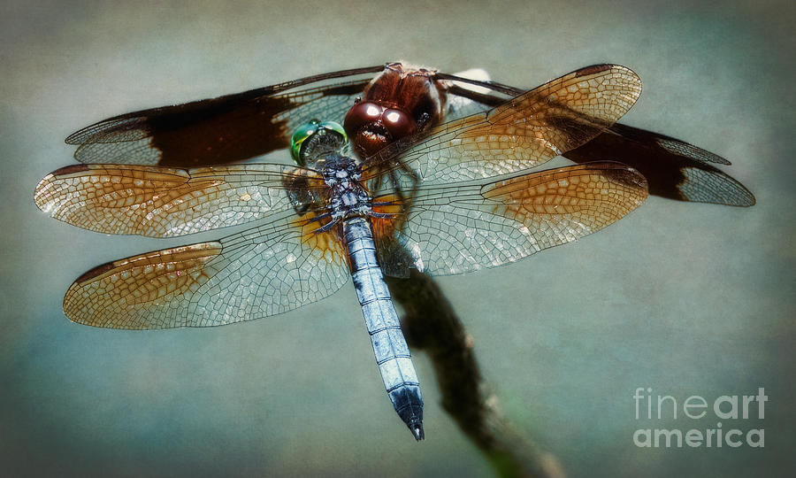 Dragonfly Photograph - Dueling Dragonflies by Susan Isakson