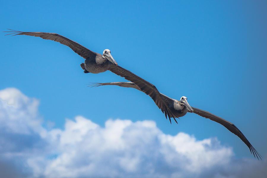 Pelican Photograph - Duet by Ralf Kaiser