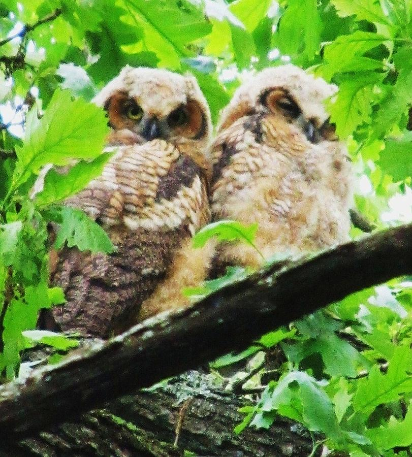 Owls Photograph - Duet by Todd Sherlock