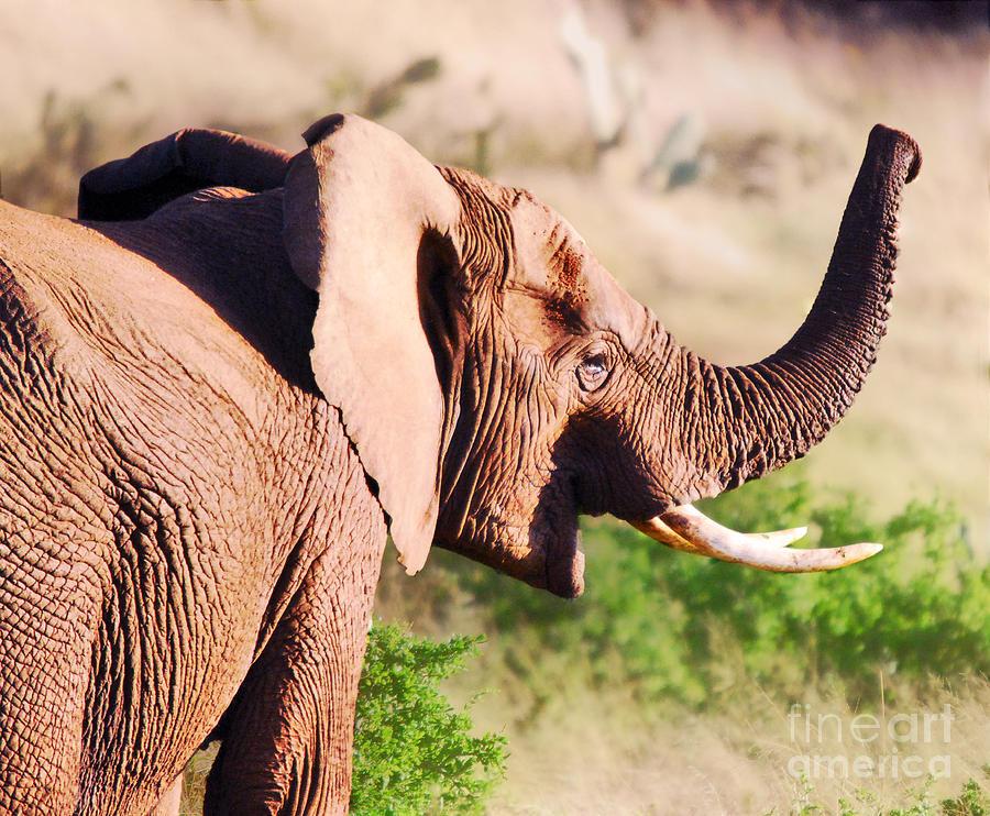 Africa Photograph - Dumbos Distant Cousin by Alexandra Jordankova