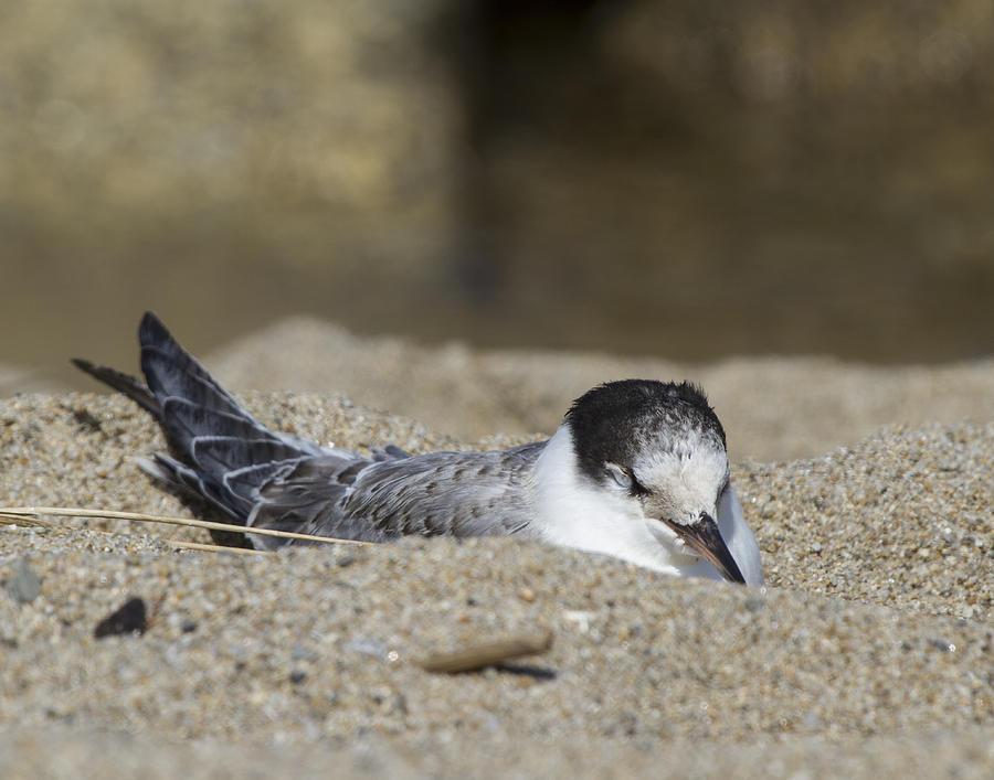 Common Tern Photograph - Dune Dozer by Chuck Homler