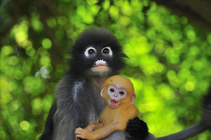 Mp Photograph - Dusky Leaf Monkey And Baby by Thomas Marent