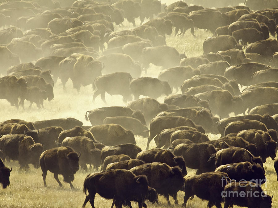 Buffalo Photograph - Dust And Hooves by Kate Purdy