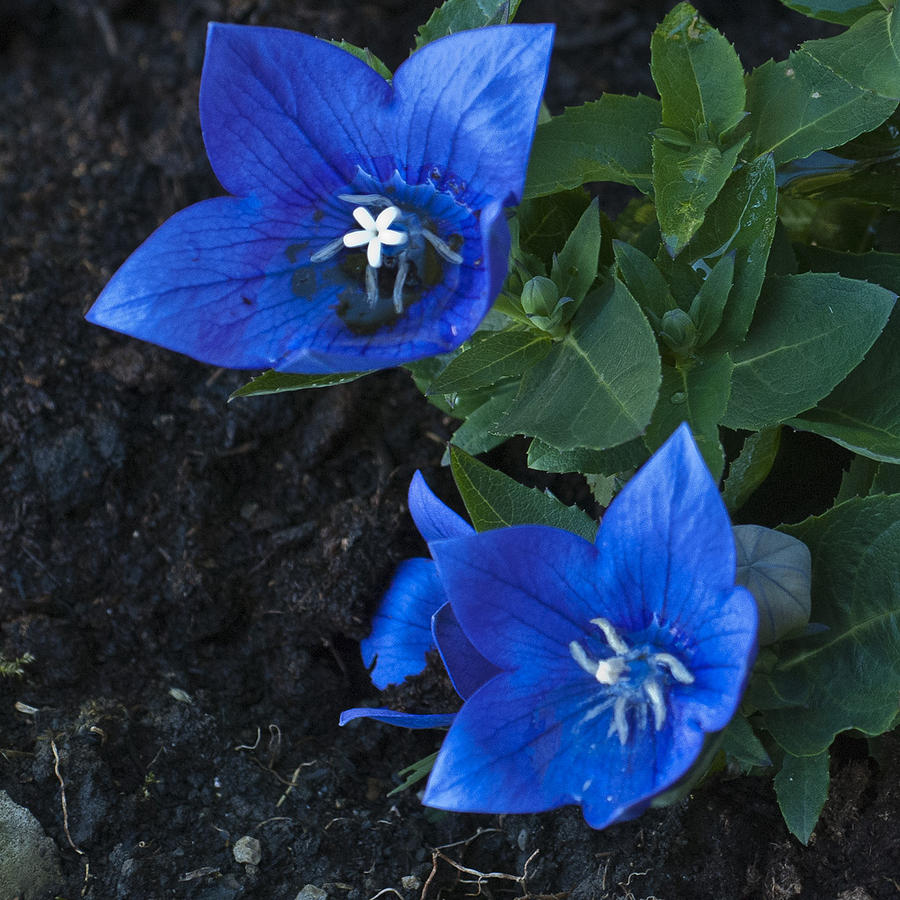 Dwarf Balloon Flower Platycodon Astra Blue Photograph By