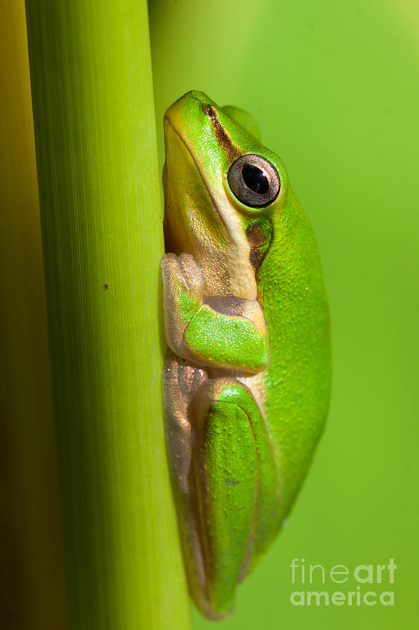 Frog Photograph - Dwarf Tree Frog by Johan Larson