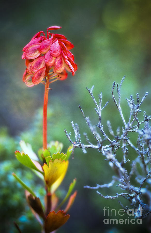 Wildflower Photograph - Dying Rocket by David Lade