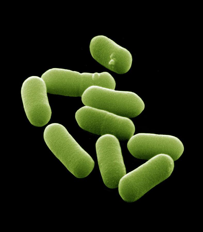 Escherichia Coli Photograph - E. Coli Bacteria, Sem by David Mccarthy