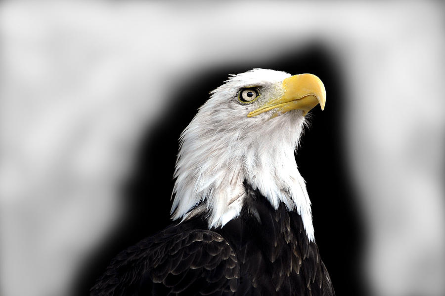 Animals Photograph - Eagle by Barry Shaffer