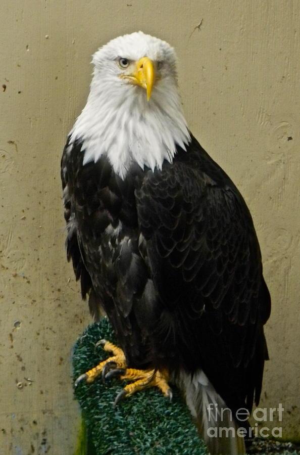 Eagle Digital Art - Eagle by Derek Swift