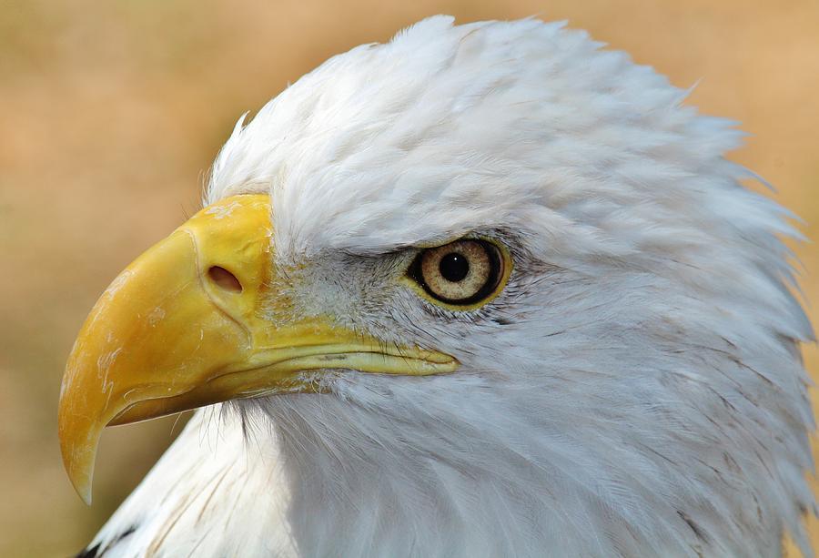 Bald Eagle Photograph - Eagle Eye 2 by Alexander Spahn