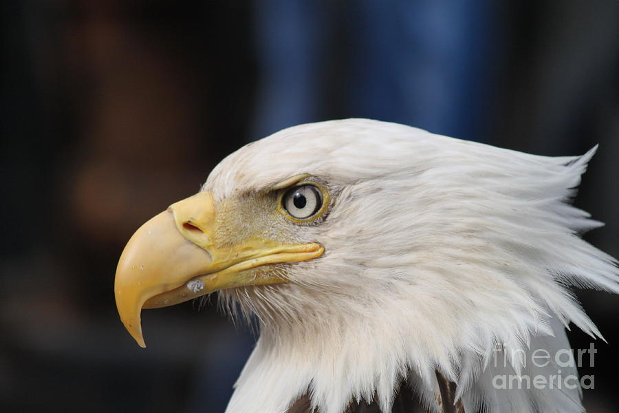 Eagle Head is a photograph by Dean Gribble which was uploaded on July ...