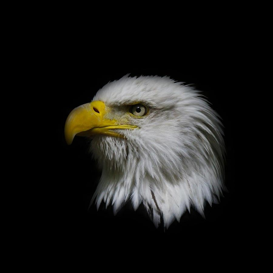 Eagle Head Photograph By Steve McKinzie