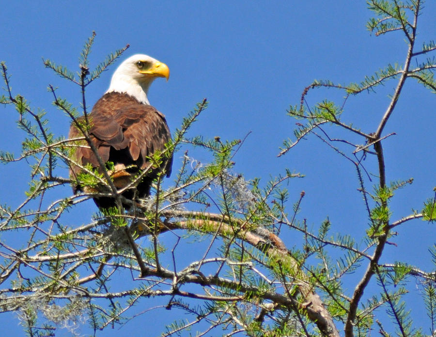 Eagle Photograph - Eagle On Watch by Kathy Ricca