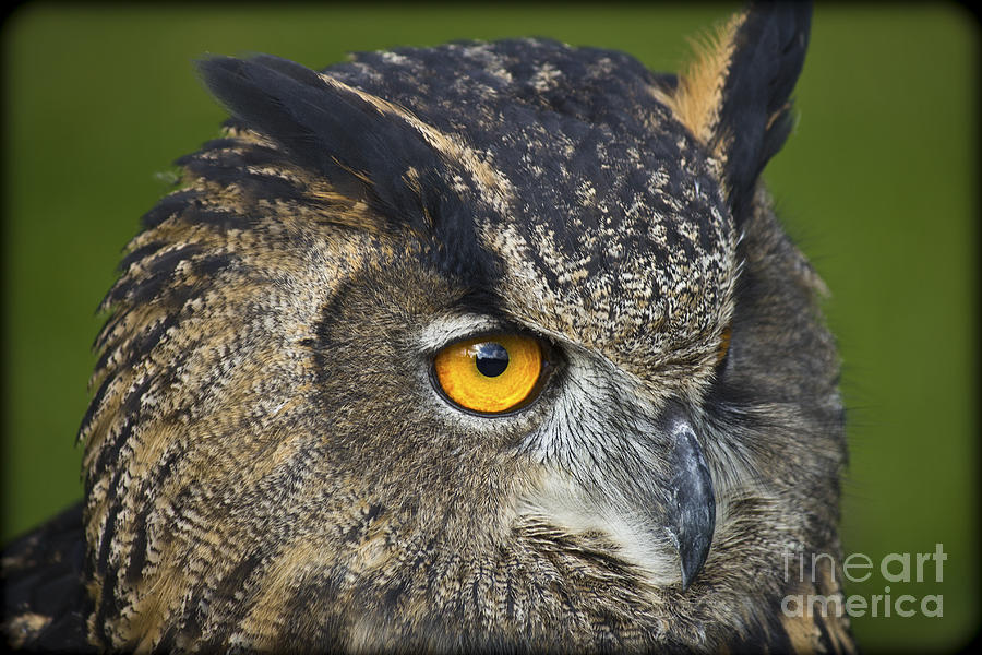 Owl Photograph - Eagle Owl 2 by Clare Bambers