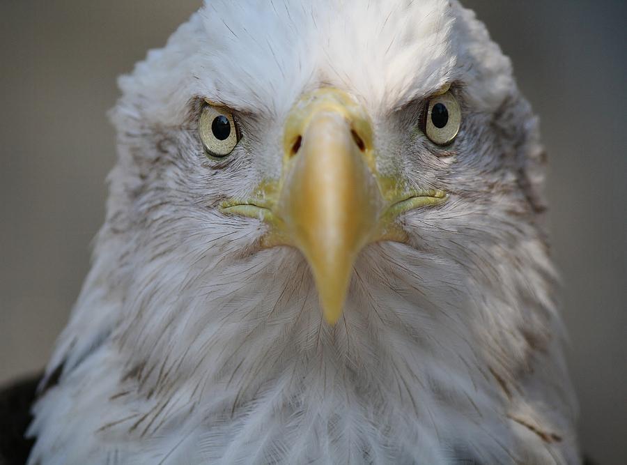 Eagle Photograph - Eagle by Paulette Thomas