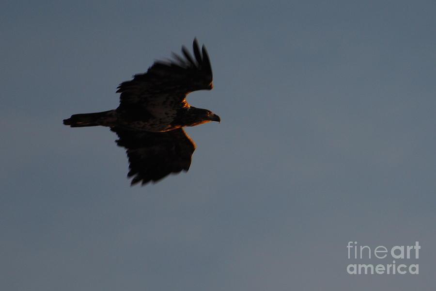 Golden Eagle Photograph - Eagle by Paulina Roybal