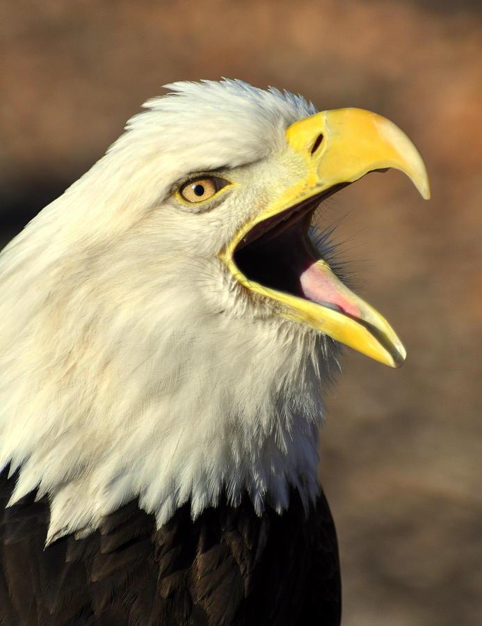 Birds Photograph - Eagle Squawk by Marty Koch