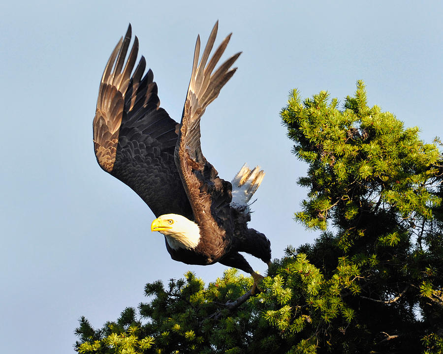 Eagle Photograph - Eagle Takes Off by Sasse Photo