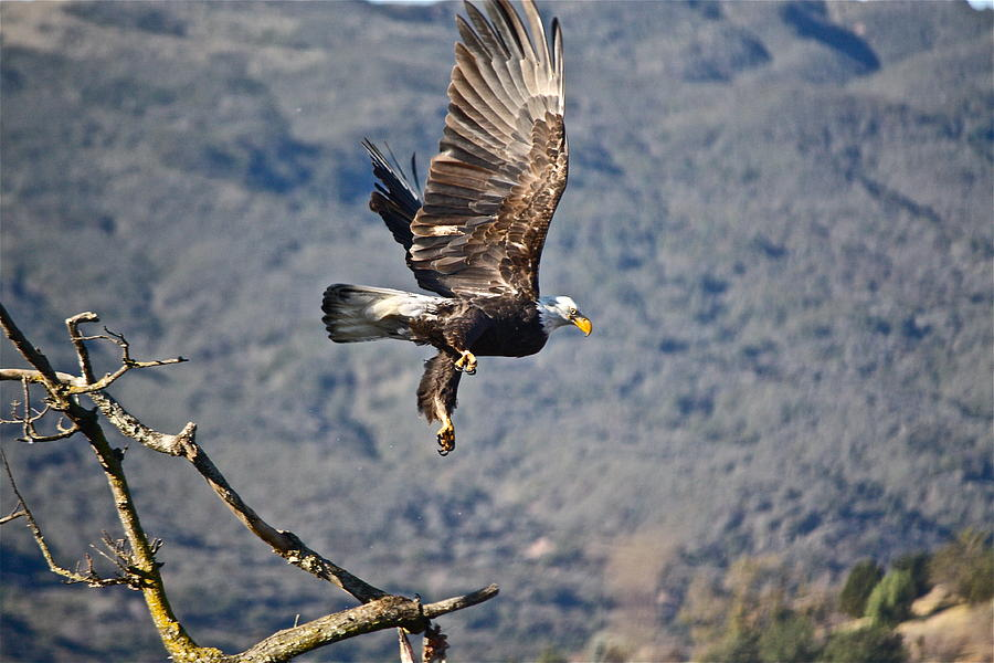Birds Photograph - Eagles Wings by Diana Hatcher